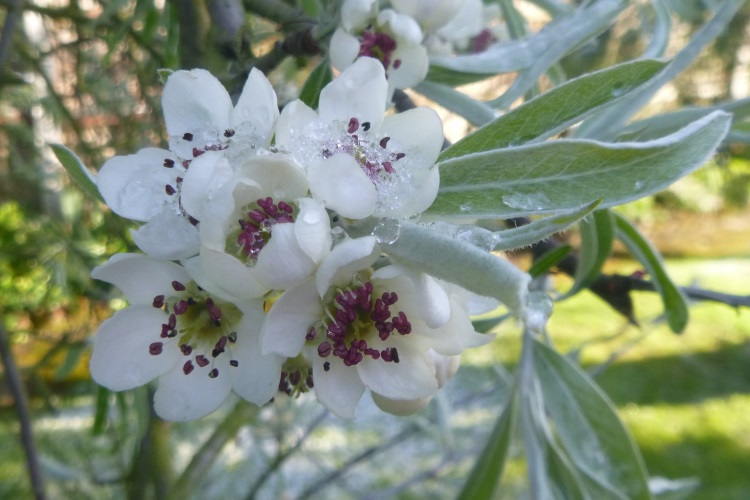 Almora ice tree