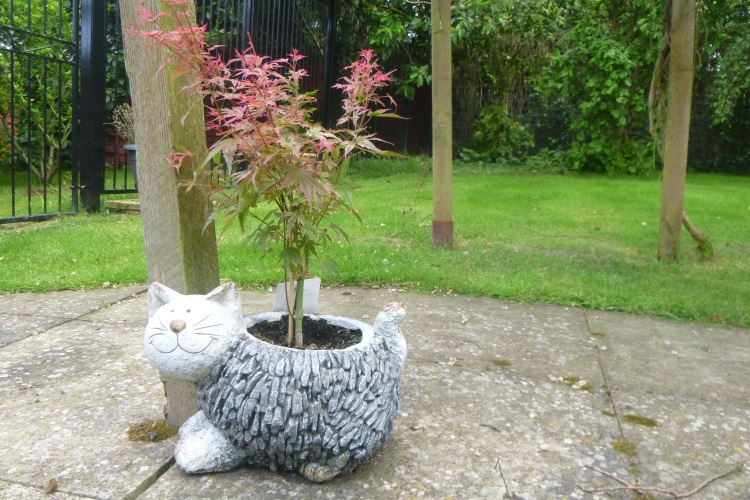 acer cat planter